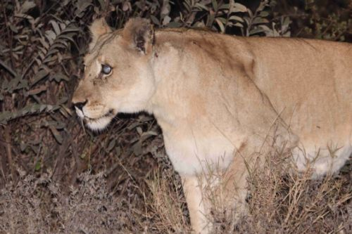 New Lioness by Graham Benfield