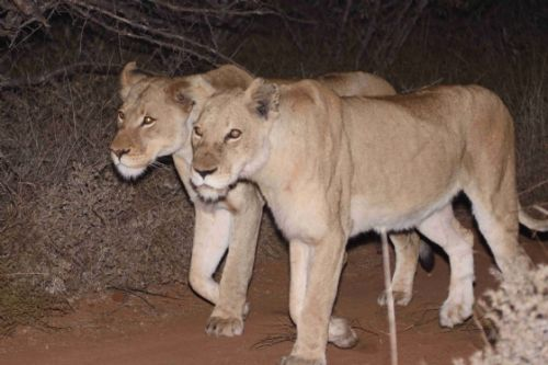 New Lionesses by Graham benfield