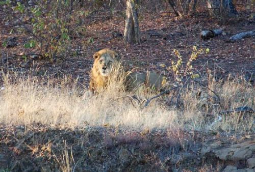 New Threat to our cubs by Nic Holzer