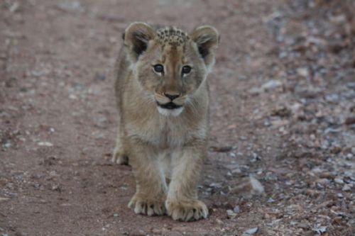 Newest cub on the block near Kudu pan by Fritha Davidson