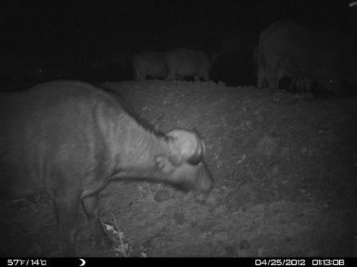 Night visitor at Kudu pan