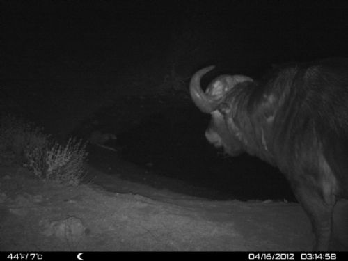 Night visitor at Wildebeeste dam 2