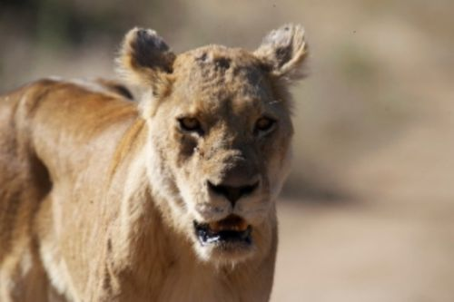 Older lioness on Aviary road by Eileen Fletcher