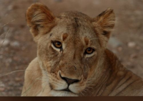 One of Kuifkops lionesses by Danny Shaw