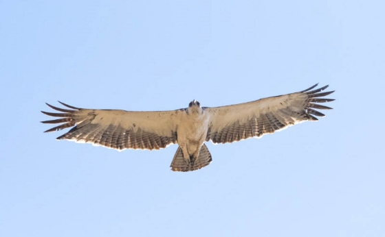 Osprey by John B35