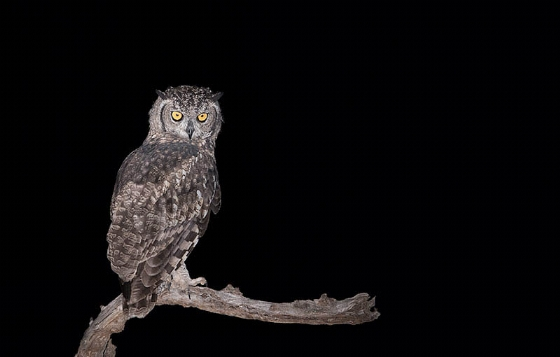 Owl by Johann B38
