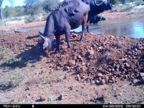 Oxpeckers on buff at Kudu pan