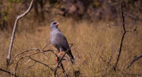 Pale Chanting Goshawk by Jason Truscott