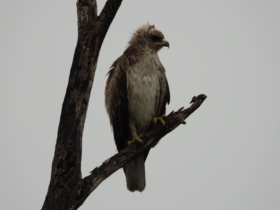 Pale form Whalbergs eagle by Roy A8