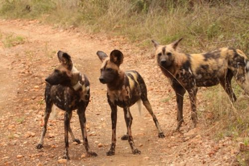 Part of pack of 6 wild dog by Graham Benfield