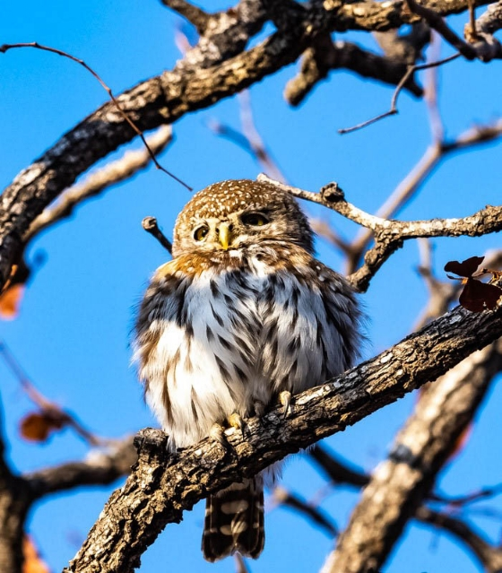 Pearl Spotted Owl near causeway by John B35