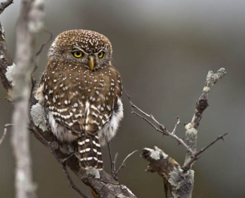 Pearlspotted Owl by Manuel Lopes