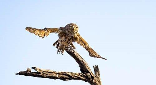 Pearlspotted Owl taking flight by John B35