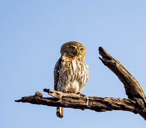 Pearspotted Owl on a branch by John B35