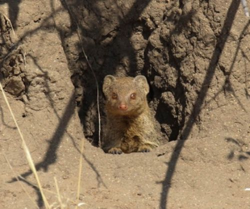 Peeping mongoose by Simon Leppard