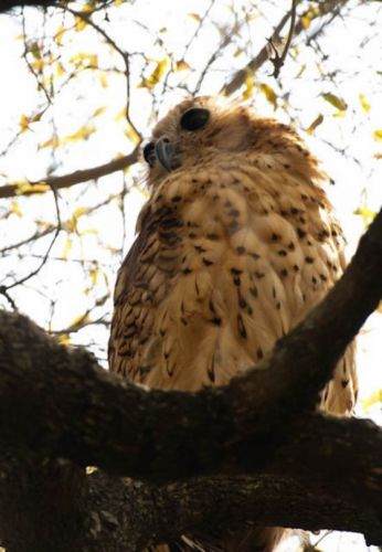 Pels Fishing Owl by Manuel Lopes