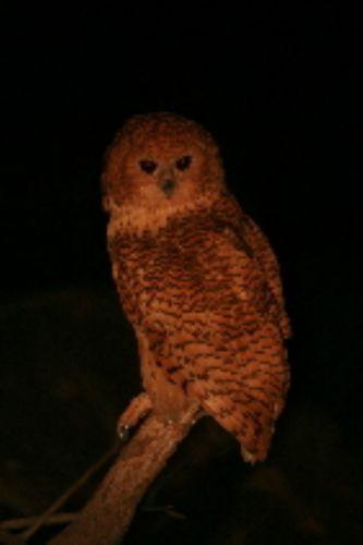 Pels Fishing Owl by Nikki Benfield