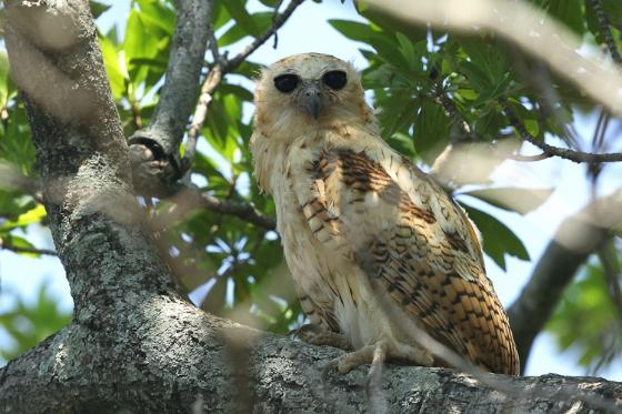 Pels Fishing Owl by Simon Leppard B19