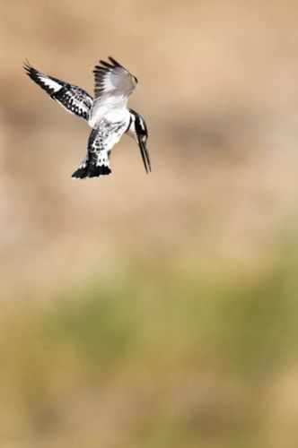 Pied Kingfisher hovering by Manuel Lopes