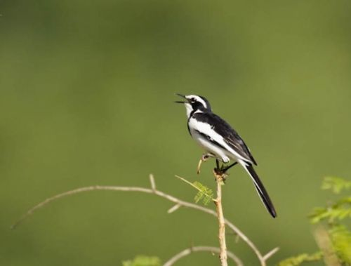 Pied wagtail by Manuel Lopes