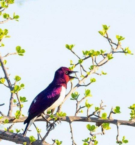 Plum Coloured Starling by John B35