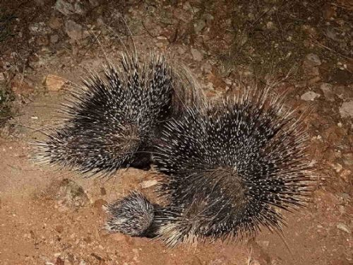 Porcupine family at B25 by Christine Scheepers