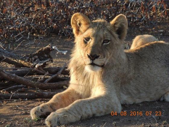 Posing ( sub-adult lion) by Kelly B12
