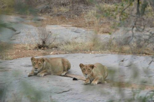 Pregnant lioness and companion by Jock McKenzie