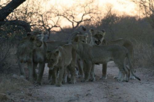 Pride of 10 lion at Kudu Pan by Micky Wostenholm