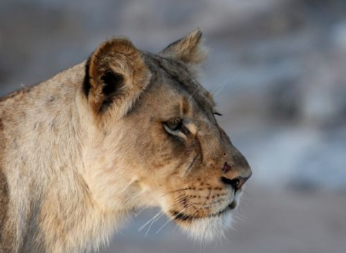 Profile of Scar nose by Wendy Leppard