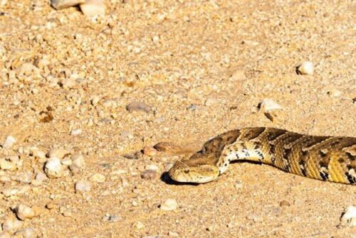 Puff Adder Camp Road by John B35