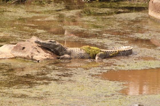Punk croc by GB B2