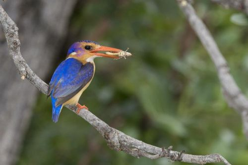 Pygmy Kingfisher carrying food to the nest by Johann B38