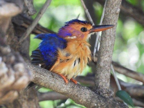 Pygmy Kingfisher just had a bath by Roy A8