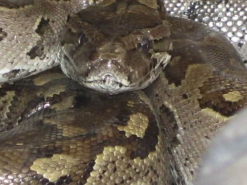 Python found in the roof of B23 by Anita