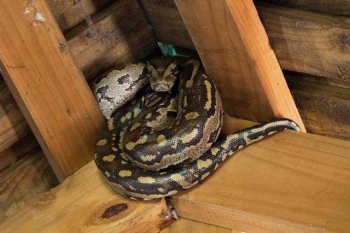 Python in roof at Nkonkoni Hide by Jason Truscott
