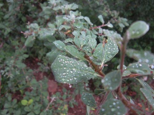 Rain drops on Terminalia Prunoides leaves by Anita Riley-Hawkins