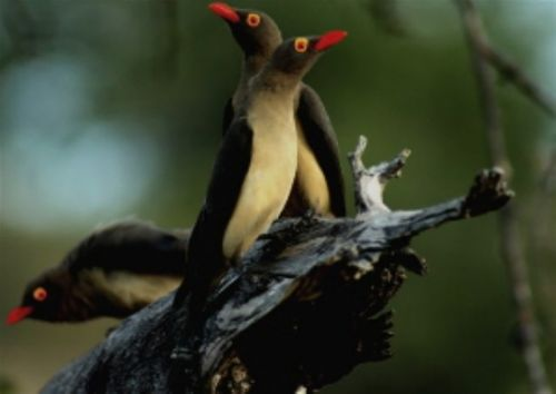Red billed Oxpecker Trio by Danny Shaw