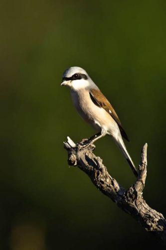 Redbacked Shrike by Manuel Lopes