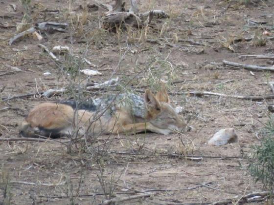 Resting jackal by Jane A3