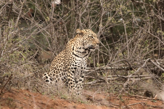 River leopard by Graham B2