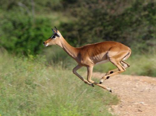 Running impala by Wendy Leppard