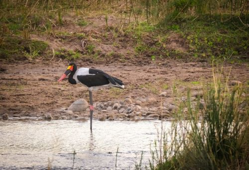 Saddle Billed Stork in the Olifants by Dan B33