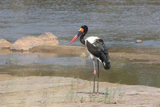 Saddle bill Stork by Tamara A8