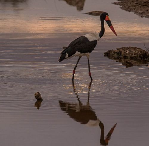 Saddlebilled Stork by Eileen Fletcher