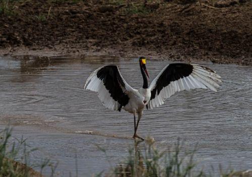 Saddlebilled stork ballet by Eileen Fletcher