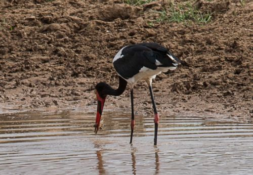 Saddlebilled stork with supper by Eileen Fletcher