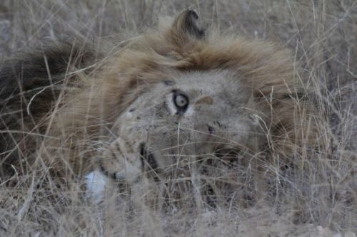 Scarred lion at Olifants River by Simon Leppard