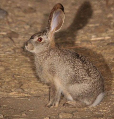 Scrub hare by Simon Leppard