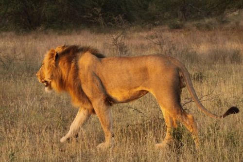Second of two male lions on Floodplain by Graham Benfield